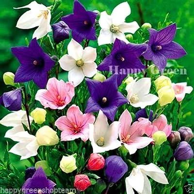 BALLOON FLOWER ASTRA MIX - 200 seeds - bellflower Platycodon PERENNIAL : Garden & Outdoor