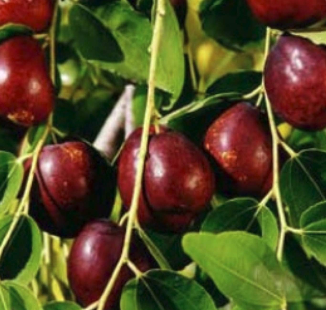 Li Jujube Fruit Tree- Chinese Dates: Fruiting