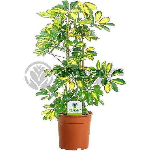 Schefflera Gerda - 1 Plant - House / Office Live Indoor Pot Plant ...