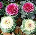 Ornamental Kale Mixed Colors Brassica oleracea Ornamental Kale Ornamental brassicas Seeds 30+ Plant Flower for Home Garden Yards Planting