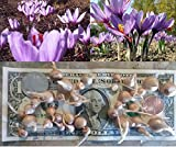 40 SAFFRON CROCUS Sativus SMALL SIZE Bulbs Fall BloomingGrow Your Own Safron