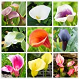 Calla Lily Mix(100+)Seeds Flowers Easy to Grow Planting for Outdoor Indoor Home Bonsai