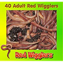 Insectsales.com Red Wigglers (40 Adult, Live) Healthy Large Red Worms for Composting And Garden