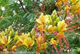 Caesalpinia Gilliesii Yellow Bird of Paradise Seeds Low Maintenance Tropical 10 Seeds
