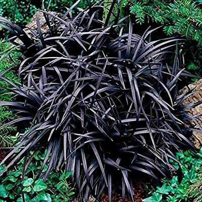 Bio Garden - Rare 100pcs Ophiopogon planiscapus 'Nigrescens' Flower Seeds Easy to Grow, Exotic Flower Seeds Hardy Perennial Garden : Garden & Outdoor