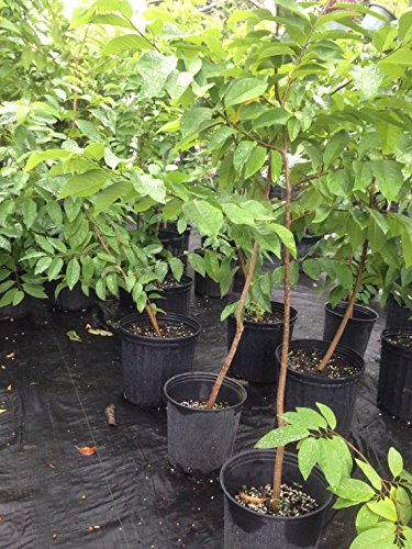 1 Sugar Apple Live Plant - Bearing fruit stage- Mang Cau Na 18 - 24 Inches