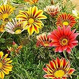 Wintefei 50 Pcs Colorful Gazania Rigens Seeds Flowers Bonsai Home Garden Decoration