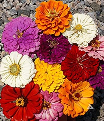 """A 0.5g (Approx. 50) Giant Zinnia Seeds """"California Giants"""" Bright Mixed Color Superior for the Cut Flowers, Bot.: """"Zinnia Elegans Dahlienflora"""""""