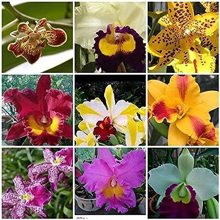 Amazon Com 4 Live Orchid Plants To Choose Cattleyas Garden