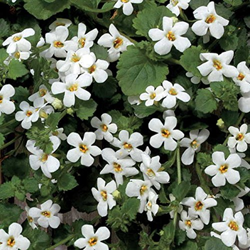 Park Seed Snowtopia Bacopa Seeds