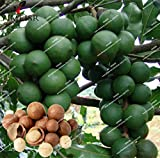 ChinaMarket 2pcs/bag Macadamia Nut Seeds Macadamia integrifolia Rare Plant nut tree seeds