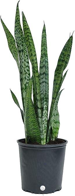 Amazon Com Costa Farms Sansevieria Snake Live Indoor Plant 2 To 3 Feet Tall Zeylanica Green Garden Outdoor