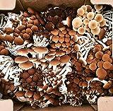 100 Grams/4 oz of Pioppini Mushroom Spawn
