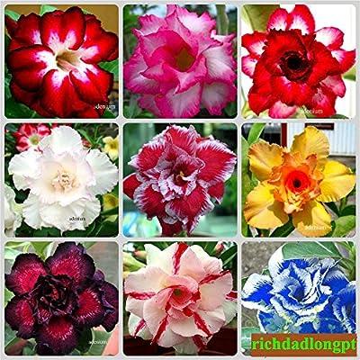 """200 SEEDS """"MULTI Colours"""" OF Adenium Obesum Desert Rose"""