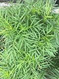 Mexican Marigold, Targetes minuta, (Organic) (50 seeds per pack)