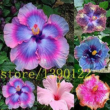 riesen hibiskus kaufen