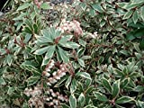 """Little Heath Lily of The Valley Shrub -Pieris Japonica- Andromeda - 2.5"""" Pot"""