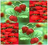 italian alpini - 50 x ITALIAN RED ALPINE GOURMET MINI Strawberry Seed seeds - ICE CREAM ICECREAM TOPPING - Highly Aromatic - TASTE OF HEAVEN - By MySeeds.Co