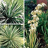 Yucca filamentosa 'Adam's Needle',Plant/Root,Attracts Butterflies, Evergreen, Drought Tolerant, Deer and Rabbit Resistant - 3 Plant