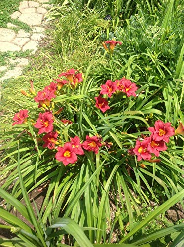(Live Daylily (Dwarf, red) aka Hemerocallis 'Little Business' Plant Fit 1 Gallon Pot)