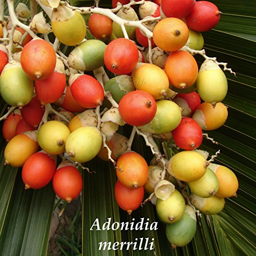 (NEW Christmas Palm Tree Adonidia merrilli 15 LIVE SEEDS TROPICAL Dwarf Royal Palm)