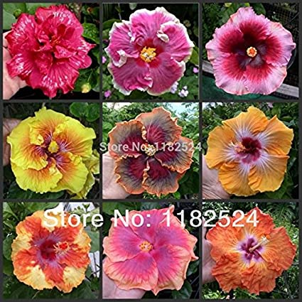 Generic 100 Seeds Mix Rare Tropical Hibiscus Seeds Flower Plant