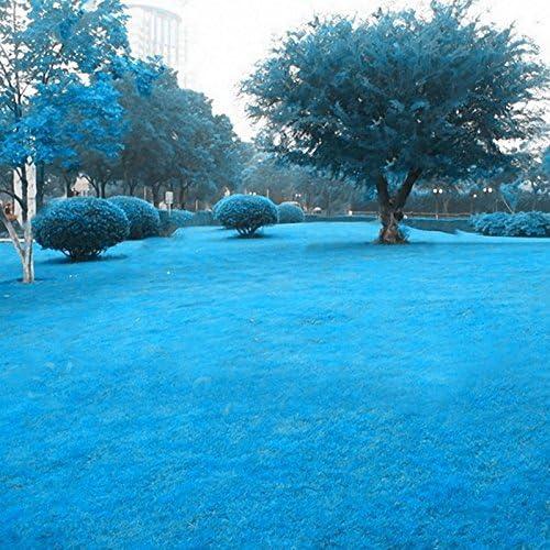 KINGDUO 500 Pcs Hierba Azul Semillas Césped Raras Semillas Jardín Patio Decoración Hierba Perenne: Amazon.es: Hogar