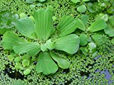 100 LIVE DUCKWEED PLANTS (LEMNA MINOR)