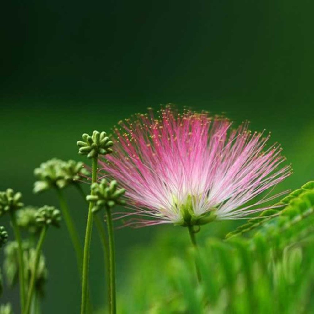 100Pcs Albizia Tree Flower Seeds Perennial Potted Plants Home Garden Supplies