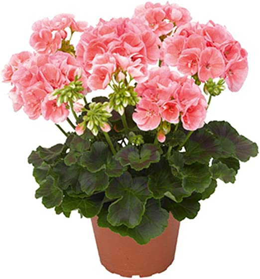 50pcs Semillas Flores Geranios, Bonsai Semillas Flores Planta ...
