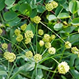 Indian Consumption Plant Seeds (Lomatium dissectum) 5+ Rare Medicinal Herb Seeds + FREE Bonus 6 Variety Seed Pk - a $29.95 Value Packed in FROZEN SEED CAPSULES for Growing Seeds Now or Saving Seeds