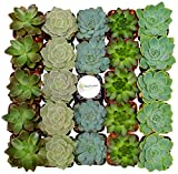 Shop Succulents Assorted Succulent (Collection of 64)