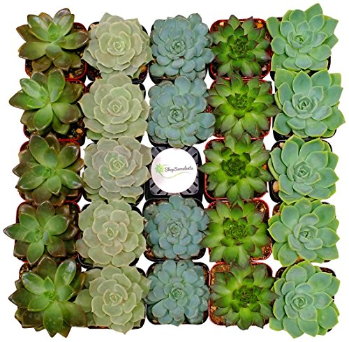 Shop Succulents Assorted Succulent (Collection of 64) by Shop Succulents