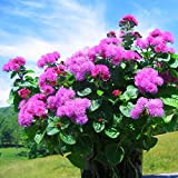 Ageratum houstonianum Pink Flames Flower Seeds from Ukraine