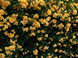 "Pleniflora Kerria - 4"" Pot - Yellow Flowers - Kerria japonica"