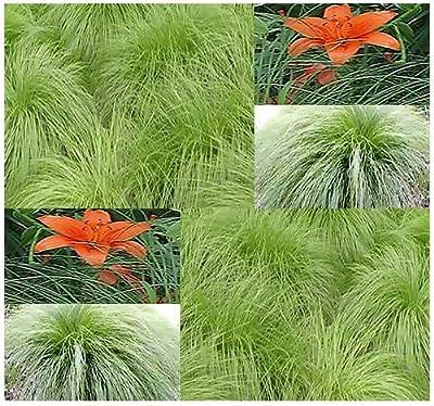 10 NORTHERN DROPSEED Seeds Prairie ~ Excellent In Rock Gardens ~ Zones 3 - 9