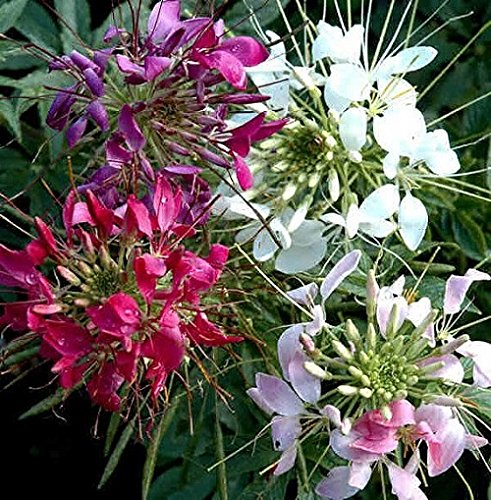 50+ Giant Queen Mix Cleome Flower Seeds / Re-Seeding Annual - Cleome Rose Queen