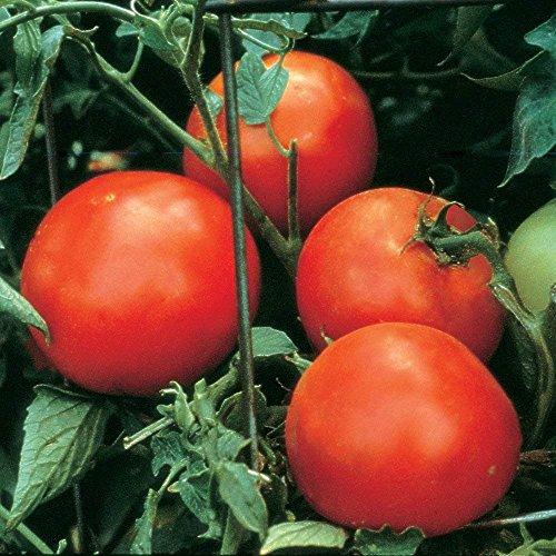 Burpee Celebrity Tomato Seeds 35 Seeds