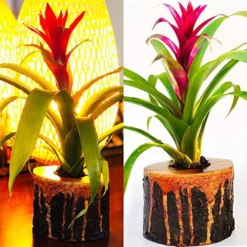 Live Exotic Guzmania Flower  in Unique Lava Wood Planter  Colorful Indoor Bromeliad Plant in One-of-a-Kind Solid -