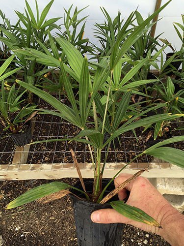 Windmill Palm Trachycarpus fortunei 3 Year Old Seedlings. Live Plant. Cold Hardy by dlendon