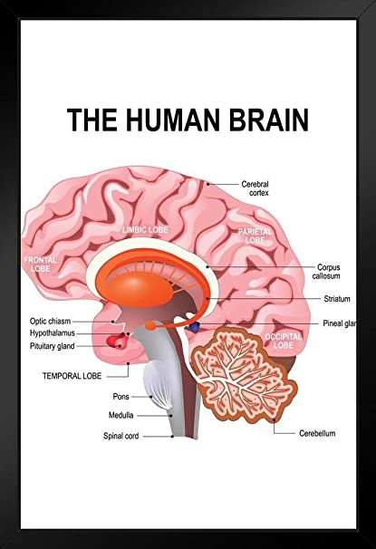 Amazon.com: Detailed Anatomy of The Human Brain Chart Framed Poster ...