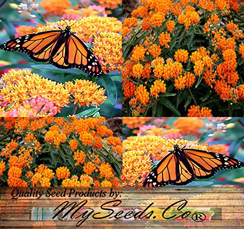 30 ORANGE GLORY BUTTERFLY WEED MILKWEED Asclepias Tuberosa Flower Seeds