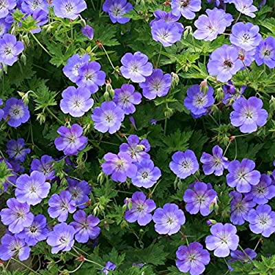 Wild Geranium Seeds, Geranium maculatum, Aka Spotted Geranium, or Wood Geranium - Lavender Flowers (packet-20 Seeds) by AchmadAnam : Garden & Outdoor
