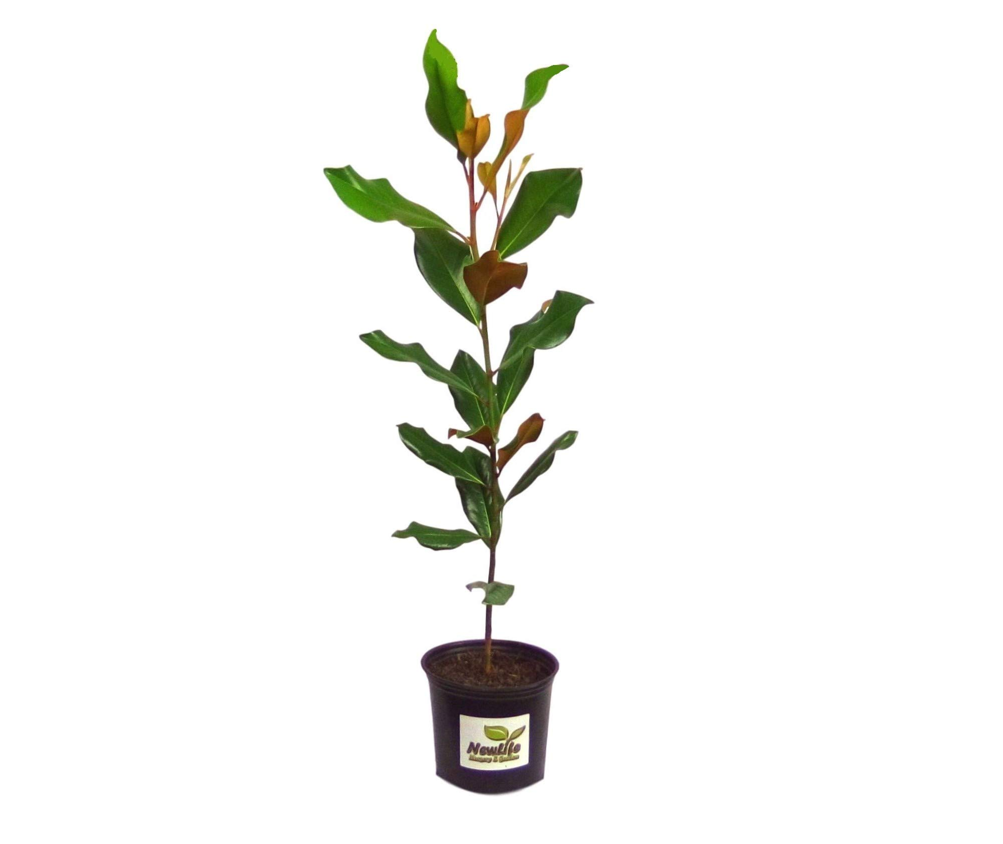 New Life Nursery & Garden- - Brackens Brown Beauty- - Southern Magnolia Tree'', Full Gallon Pot by New Life Nursery & Garden