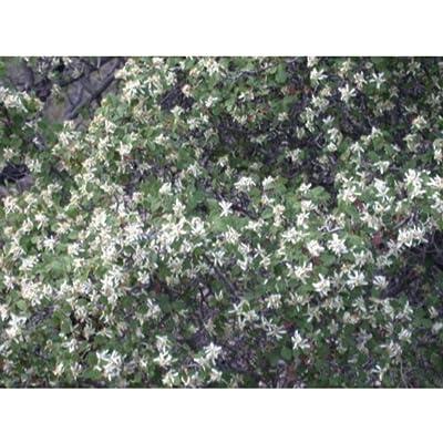 Amelanchier Utahensis Cold Hardy Native Shrubs Plant MX01 : Garden & Outdoor