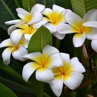 everd1487HH 100Pcs/Bag Plumeria Rubra Frangipani Hawaiian Lei Flower Seeds Garden and Home Bonsai Easy to Grow Flower Plant Seeds : Garden & Outdoor