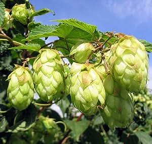 """Mount Hood Beer Hops Vine - Humulus - Grow your own Beer! - 4"""" Pot"""