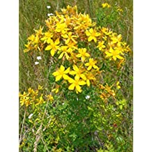 Seeds St John's Wort, Tipton's Weed, Rosin Rose, Goatweed, Herb NON-GMO