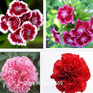 chinese pink,multicolored carnation seeds flower seeds,Original package flower seeds-100 6 Rare Mix Colors