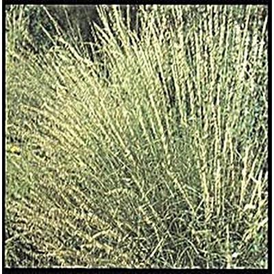 Ornamental Grass Seed - Bouteloua Curtipendula Seeds : Garden & Outdoor